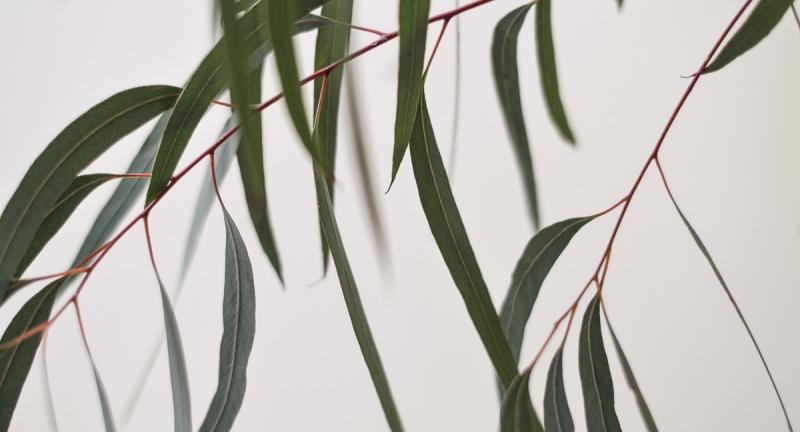 Eucalyptus branch with green leaves